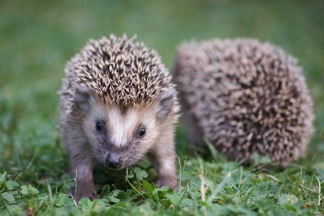 Hedgehog garden nature, nature landscapes.