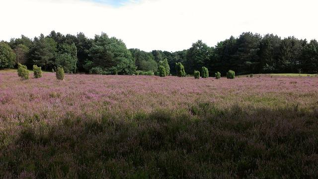 Heide heathland august.
