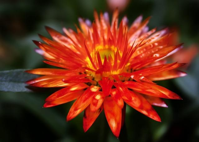 Helichrysum italicum orange, nature landscapes.