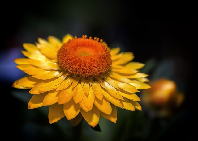 Helichrysum italicum yellow, nature landscapes.