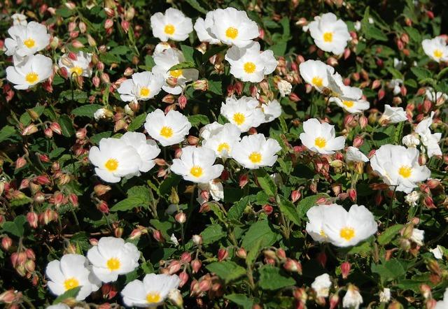Hellebore flowers garden, nature landscapes.