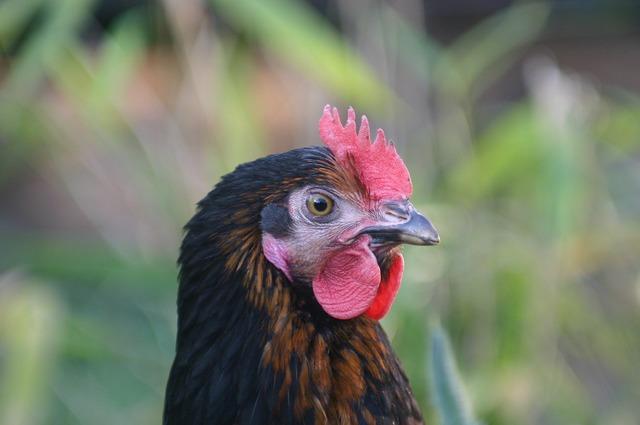 Hen laying hens chicken, animals.