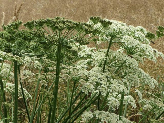 Heracleum sphondylium eltrot hogweed, nature landscapes.