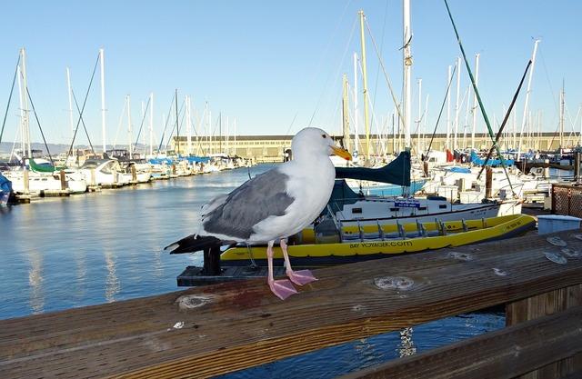 Herring gull american larus smithsonianus.
