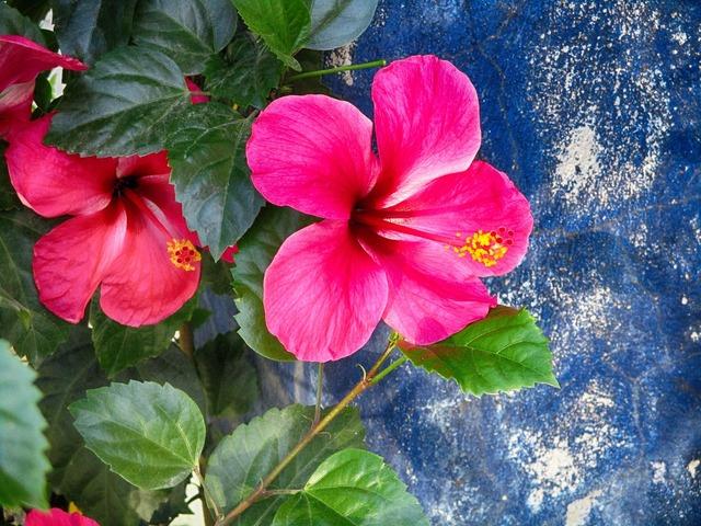Hibiscus beautiful flower flower.