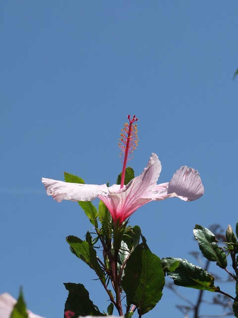 Hibiscus blossom bloom, nature landscapes.