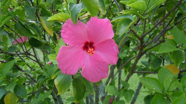 Hibiscus pink flowers.