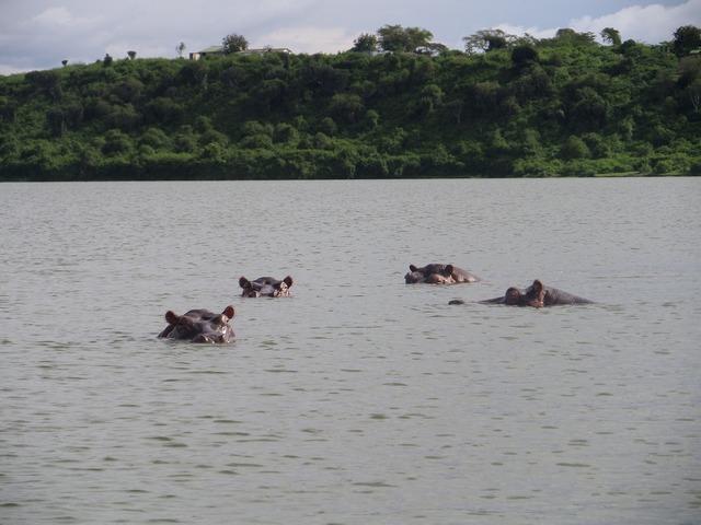 Hippopotamus wild africa.