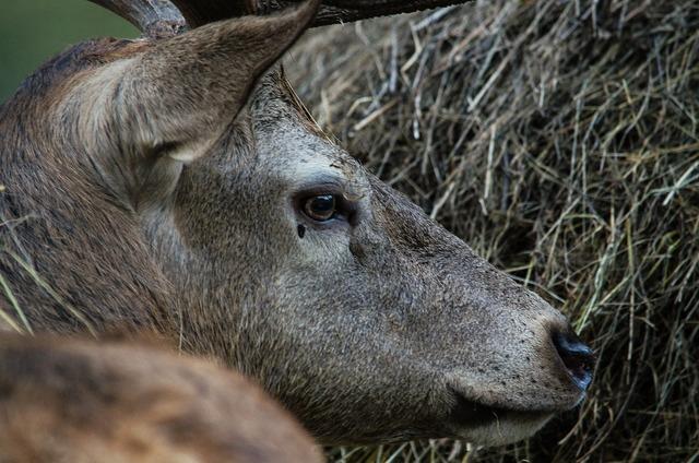 Hirsch fallow deer deer park, nature landscapes.