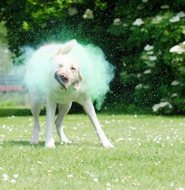 Holi colors farbpulver labrador, animals.