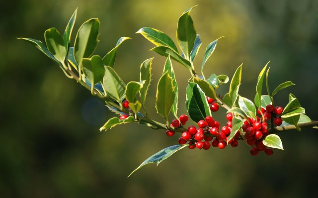 Holly berries christmas, nature landscapes.
