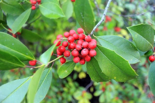 Holly berries ilex, nature landscapes.