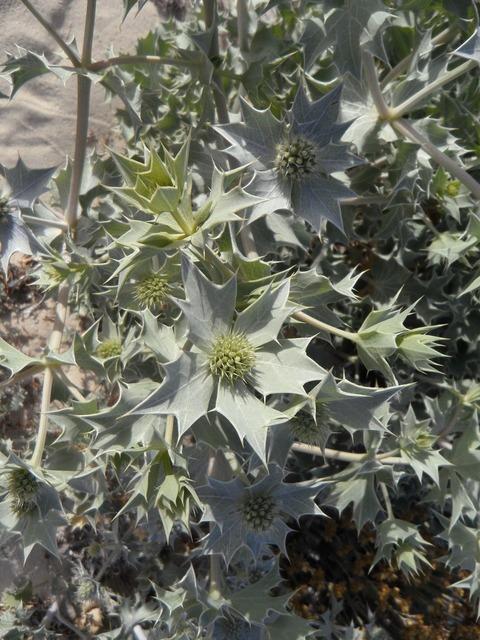 Holly dune flora flora, nature landscapes.
