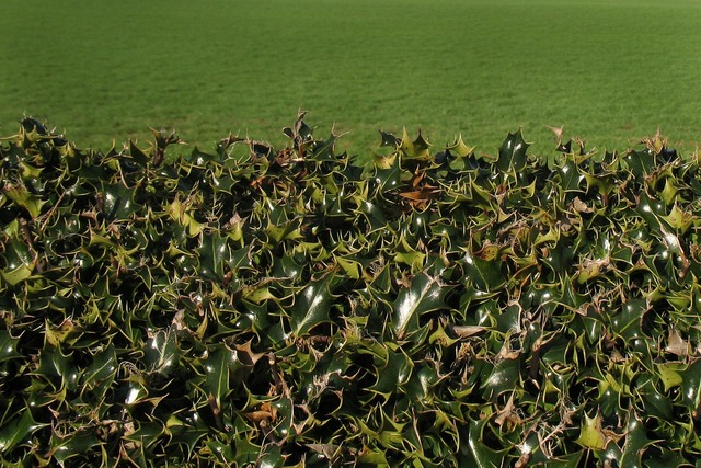 Holly hedge fence, nature landscapes.