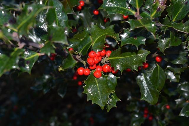 Holly ilex berries, nature landscapes.