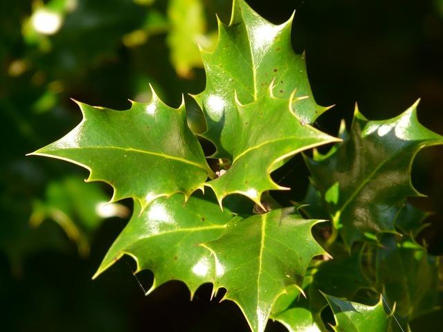 Holly leaf plant, nature landscapes.