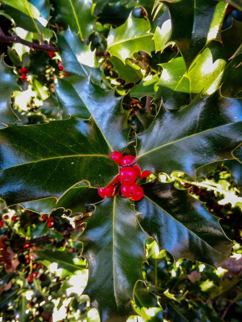 Holly plant berries, nature landscapes.