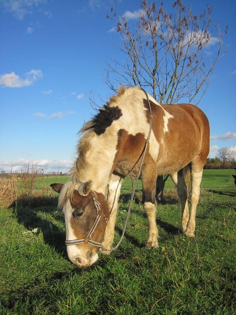 Horse pony pinto.