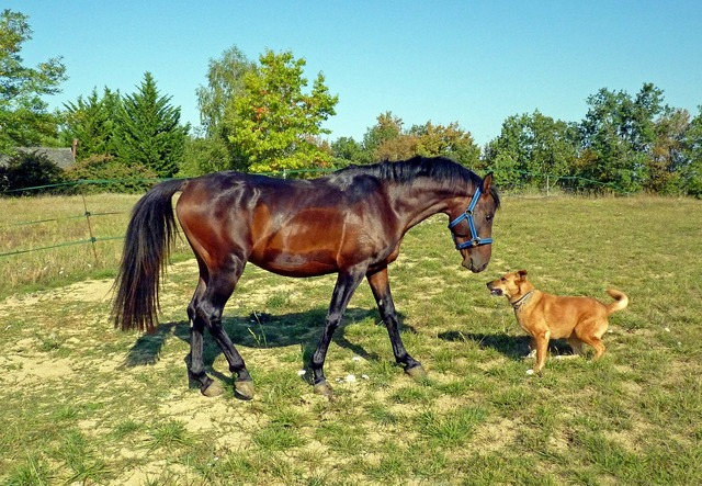 Horse pure arab blood breeding horses, animals.