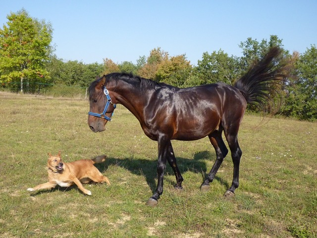 Horse standard pure arab blood, animals.