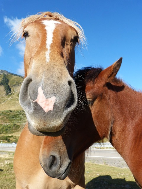Horses couple val d'aran.
