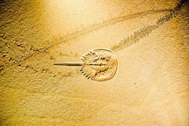 Horseshoe crabs limulidae fossil.