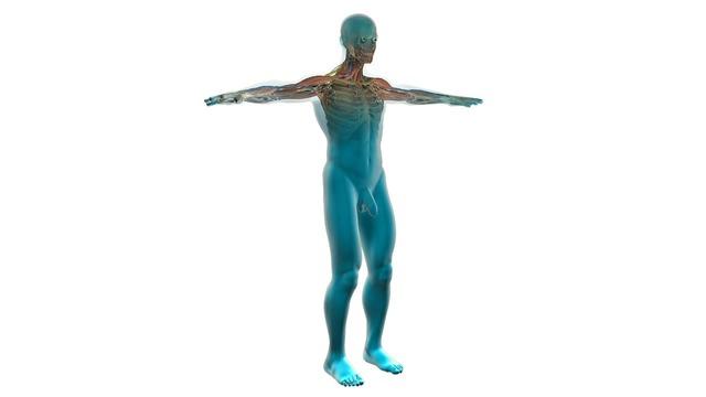 Human cardiovascular system anatomy healthcare and medicine, health medical.