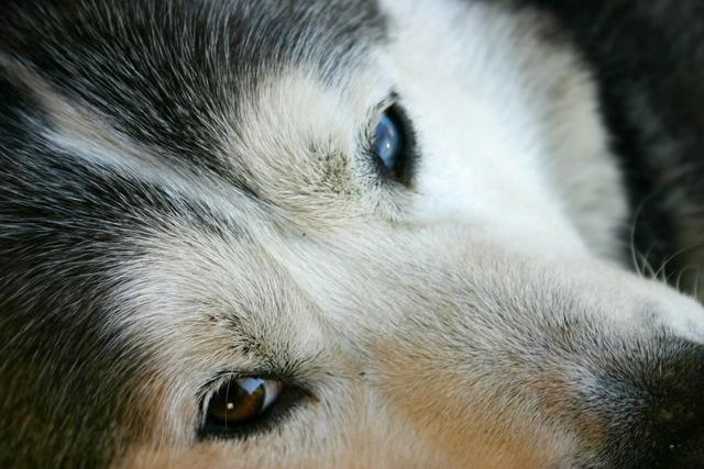 Husky dog face, animals.