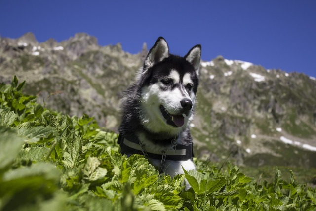 Husky dog pet, animals.
