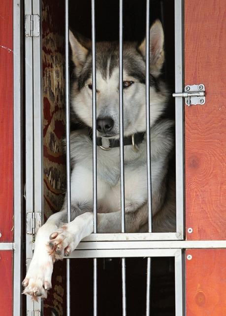 Husky dog white, animals.