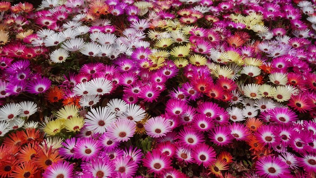 Hwasaham livingstone daisy flowers.