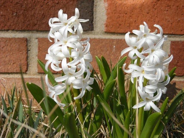 Hyacinth flowers brick, nature landscapes.