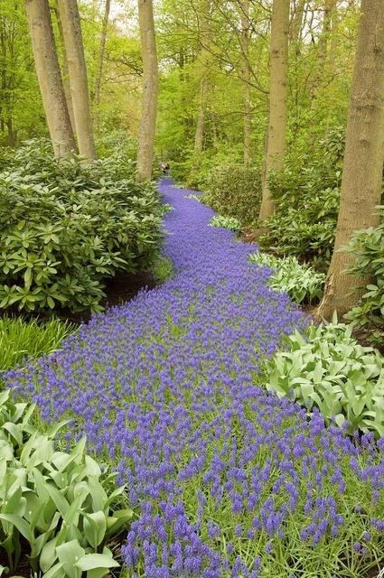 Hyacinth grape hyacinth forest path.