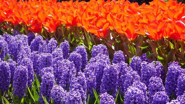 Hyacinth tulip keukenhof.