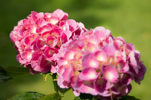 Hydrangea bloom grow, nature landscapes.
