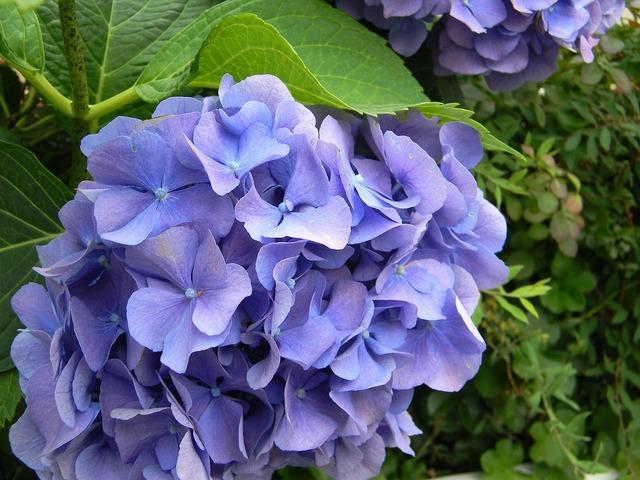 Hydrangea blue flower, nature landscapes.