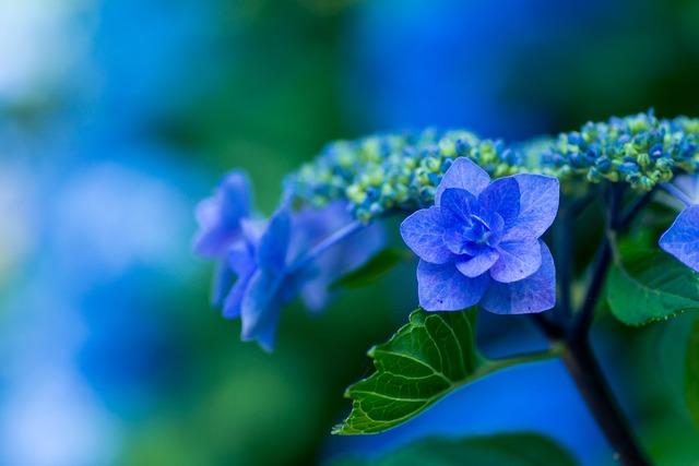Hydrangea blue petals plant, nature landscapes.