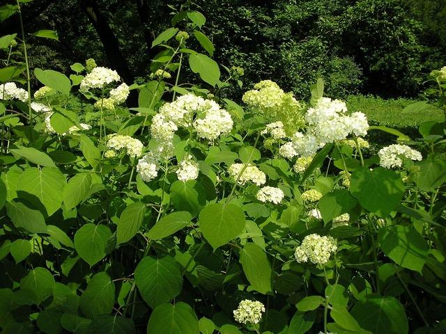 Hydrangea floral plants.