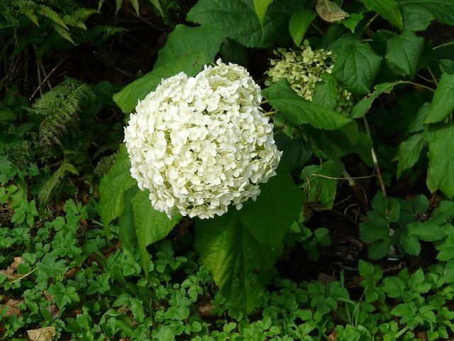Hydrangea flower blossom.