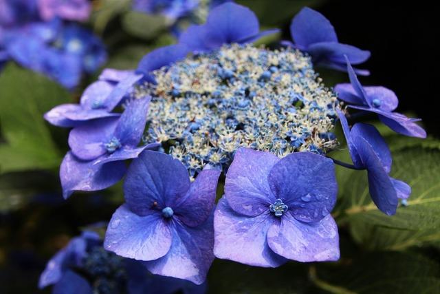 Hydrangea summer garden blue.