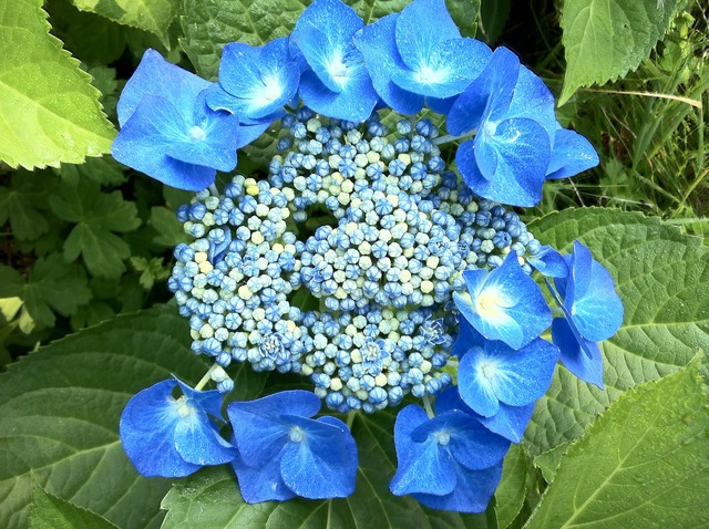 Hydrangeas blue summer.