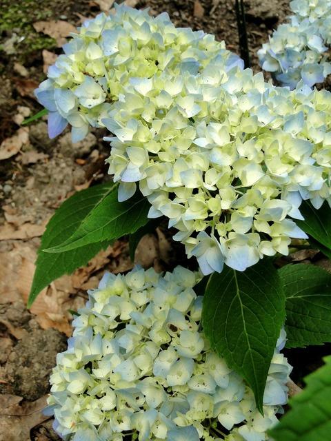 Hydrangeas flowers buds, nature landscapes.