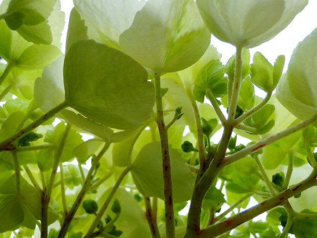 Hydrangeas flowers petals, nature landscapes.