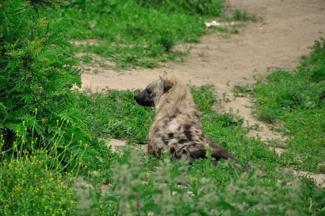 Hyena animal wild, animals.