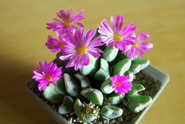 Ice plant bloom pink flower.