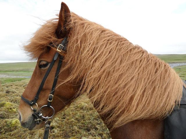 Iceland iceland horse wind.