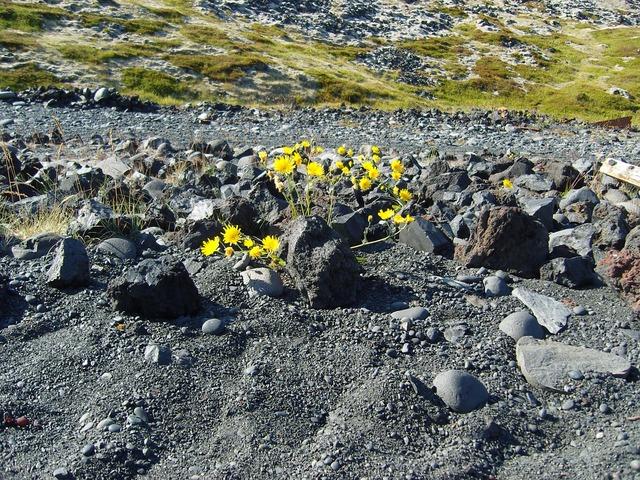 Iceland lava plant, nature landscapes.