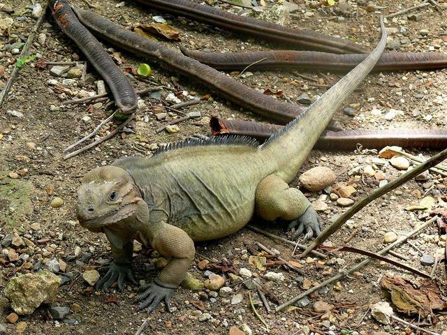 Iguana animal exotic, animals.