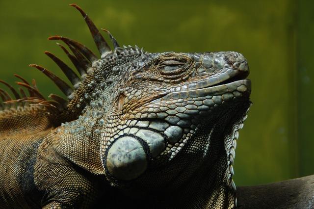 Iguana lizard reptile.