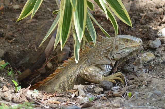 Iguana ponte eggs, nature landscapes.